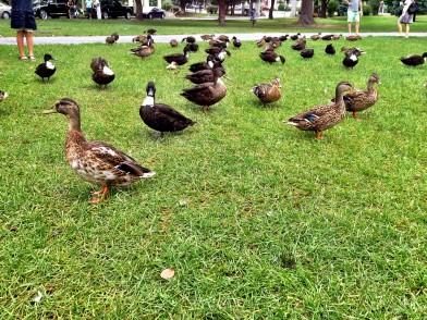 Ducks in Congress Park